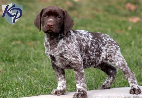 german haired pointer puppies german shorthair pointer puppies for sale breeds picture