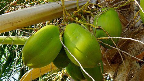 pohon kelapa ikon pulau yang mulai terancam greeners co