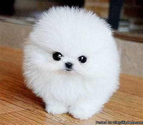 (2) Available Mini Teacup Pomeranian Puppies   best price