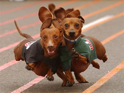 weiner puppy dachshund running 1400x1050 wallpapers dachshund 1400x1050 wallpapers pictures free