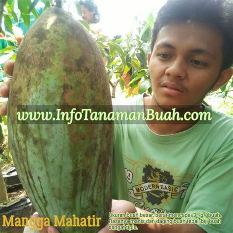 Bibit Sawo Raksasa bibit mangga mahatir mangga raksasa tetap manis info tanaman buah