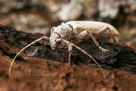 insetti materasso tarli legno e tarme legno due insetti da non
