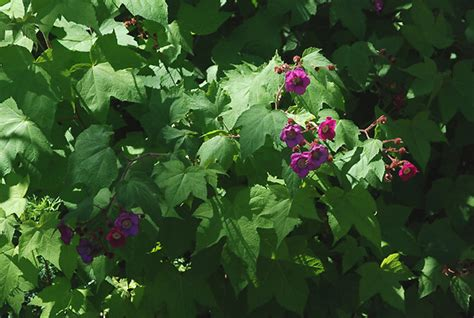 flowering raspberry shrub flowering raspberry oregon state univ landscape plants