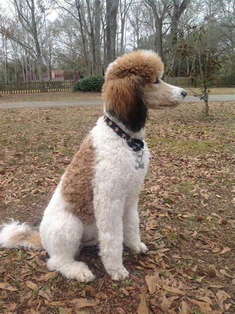 parti poodle lifespan parti pecos is a looking boy standard style