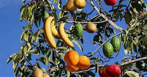 why are many fruit plants trees multi fruit cocktail tree fruit one tree