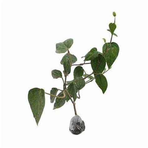 Bibit Tanaman Obat Sirih Hitam jual tanaman sirih hijau bibit
