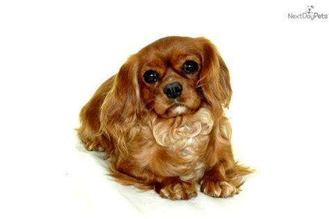 cavalier puppies for adoption cavalier king charles spaniel puppy for adoption near 588606fd 7922