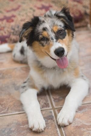 border aussie puppies characteristics of the australian shepherd border collie mix