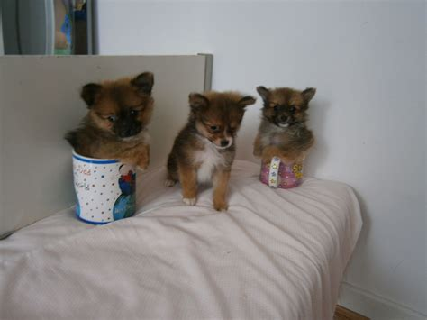 tiny teacup puppies tiny tiny teacup chihuahua puppies stanmore middlesex pets4homes