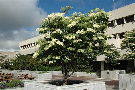 ivory silk japanese tree lilac clump syringa reticulata