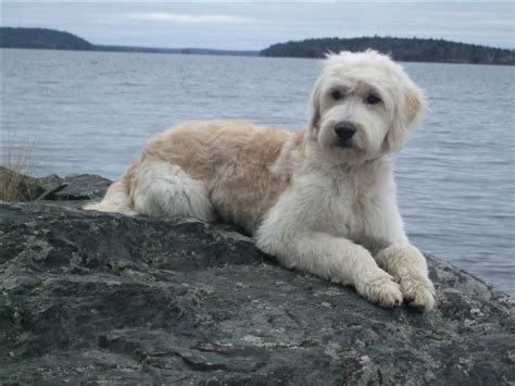 mini goldendoodle cuts types of goldendoodle haircuts google search chewie