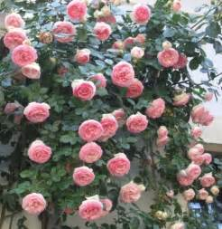 best roses for zone 8 climbing roses with best roses to