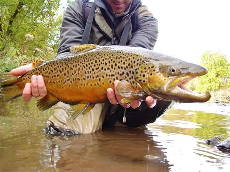 egg pattern brown trout brianonthefly wny tributary fishing is in full swing
