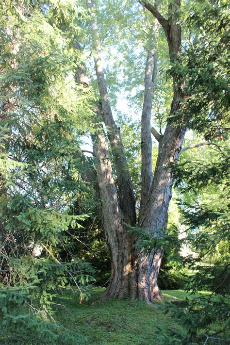 accurate tree removes scale topping silver maple  nh