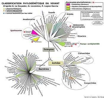 classification phylogénétique — wikipédia
