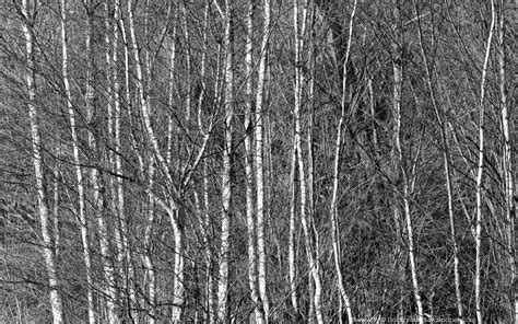 black and white woods wallpaper silver birch woods black and white wallpaper 1680x1050