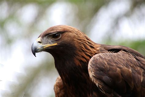 golden eagle wallpapers   hd