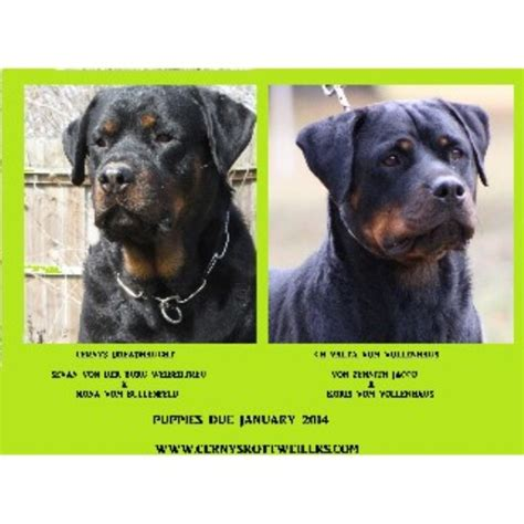 rottweiler breeders illinois cernys rottweilers rottweiler breeder in granite city illinois