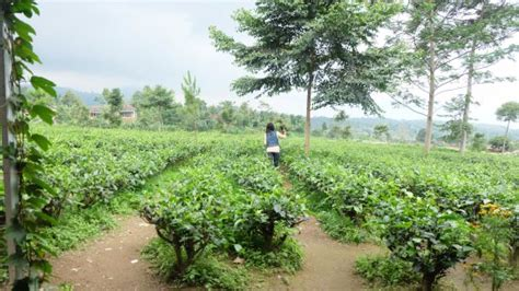 Teh Di Ndoro Donker kebun teh di sing rumah teh picture of ndoro donker tea house karanganyar tripadvisor