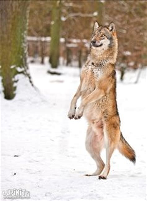 walking on hind legs 1000 images about wolves on walking legs and pretty