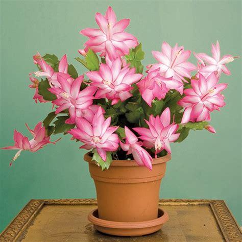 christmas cactus cristen schlumbergera hybrid