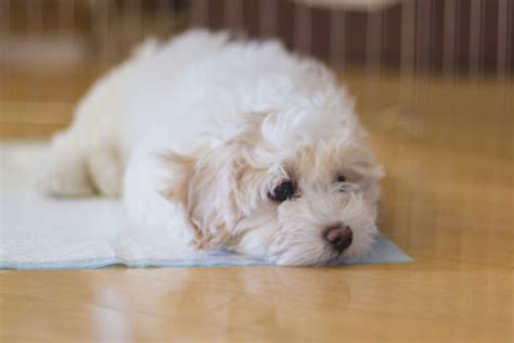 what to do if puppy has diarrhea what to do when your puppy has diarrhea petcha