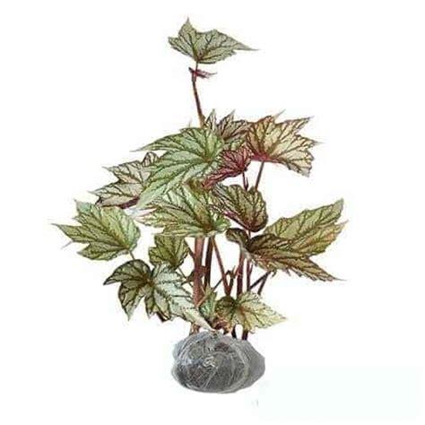 Jual Bibit Bunga Begonia jual tanaman begonia exotica bibit