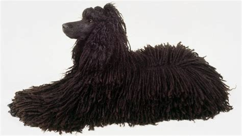 how to a poodle how to cord a poodle coat grooming tutorial