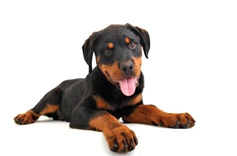 rottweiler types of breeds rottweiler9 jpg rottweiler breeds