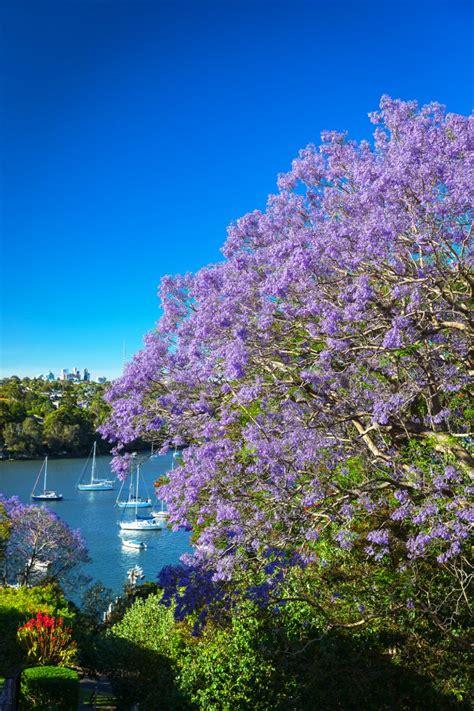 sydney jacaranda trees  bloom