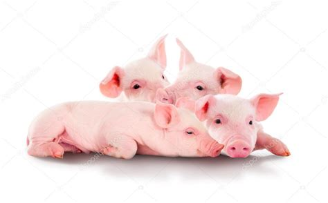 wallpaper pink pig pile of fun pink pigs isolated on white background
