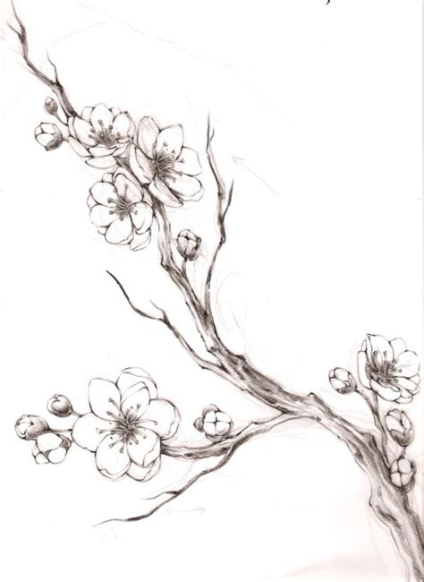 Cherry Blossom Branch Drawing Outline by Cherry Blossom Flower Pencil Drawing