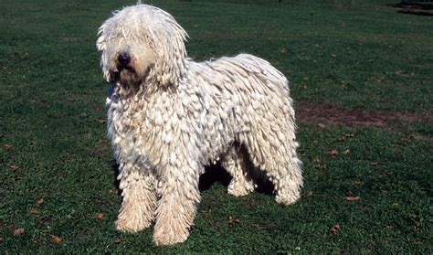 komondor puppy komondor breed information
