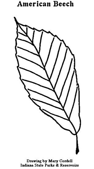 beech tree coloring page plant coloring pages coloring pages ideas reviews