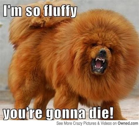 Fat Dog Meme - big fluffy dog meme amuzing pics meme dog meme funny