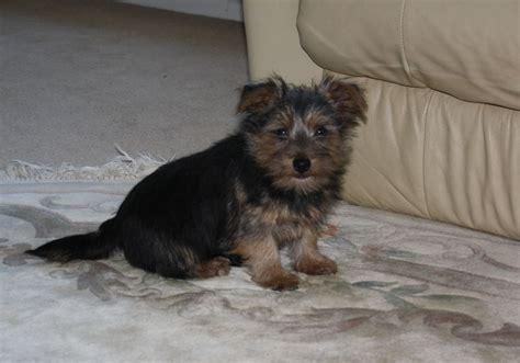 norfolk terrier puppies norfolk terrier puppies berkshire pets4homes