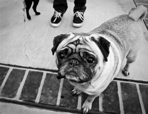 pug black and white black and white photo of pug about pug