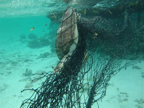 Green World Sea Fish lucky escape for sea turtle from a ghost net in