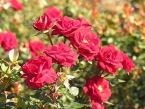 beautyful flowers rose flowers garden nice