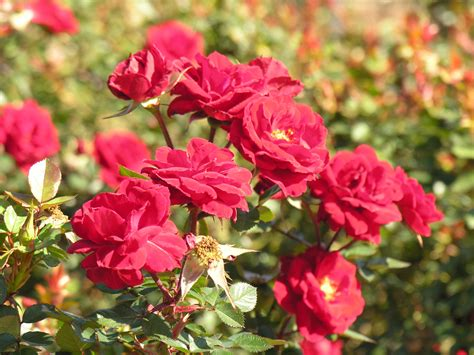Beautyful Flowers Rose Flowers Garden Nice Flowers In The Garden