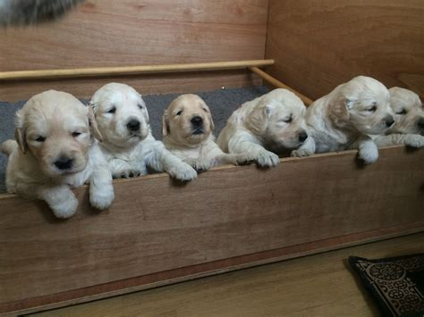 pedigree golden retriever puppies for sale pedigree golden retriever puppies for sale abergavenny monmouthshire pets4homes