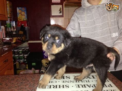 german rottweilers puppies for sale in el paso tx rottweiler puppies and dogs for sale and adoption in west midlands breeds picture
