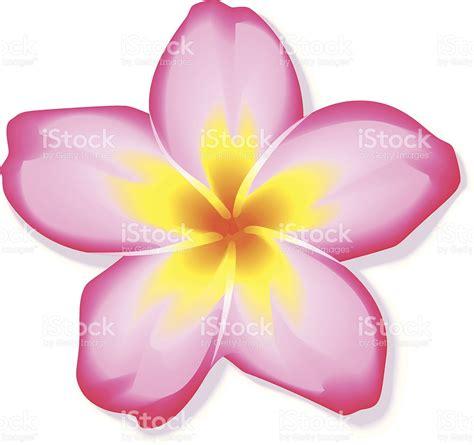 fiore plumeria frangipani clipart plumeria pencil and in color