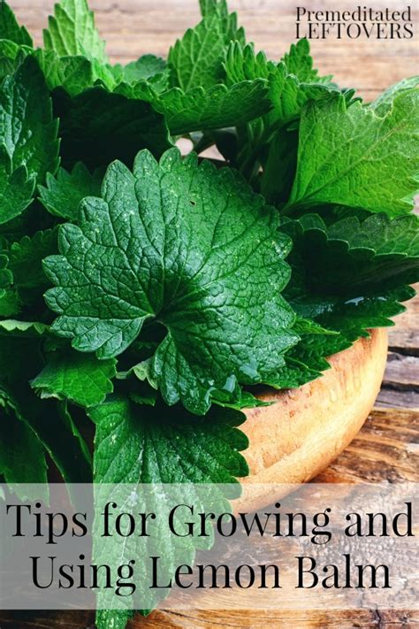 tips  growing   lemon balm
