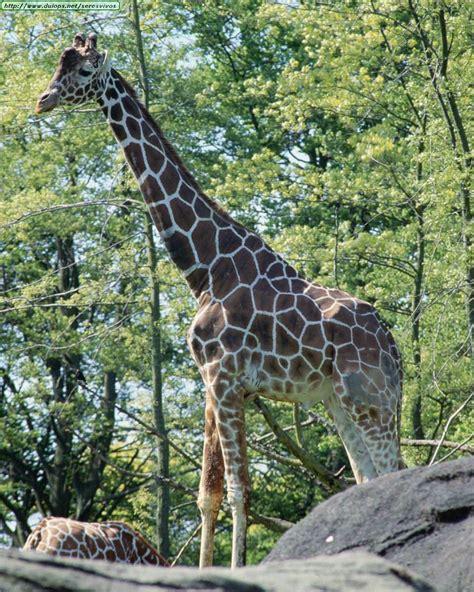 imagenes de jirafas salvajes fotos de jirafas