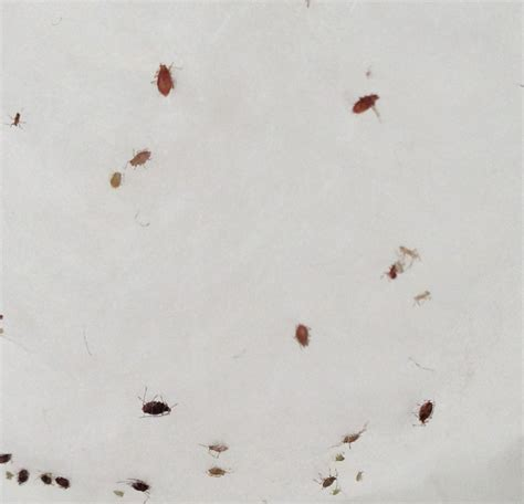 tiny reddish brown bugs in bathroom indoors chilli plant bugs brown purple staining