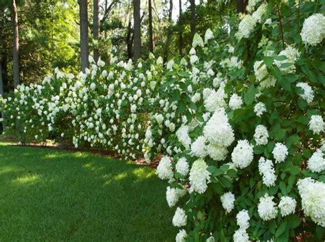 backyard shrubs privacy 10 best ideas about privacy trees on pinterest privacy