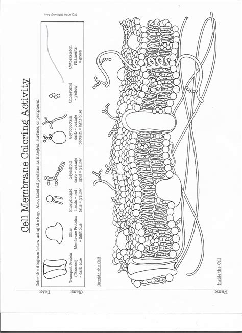 cell membrane worksheet finished coloring pages