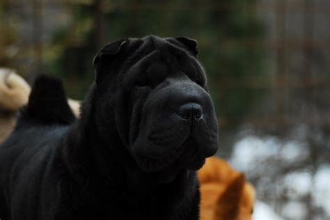 can dogs eat black pepper 10 best shar pei names