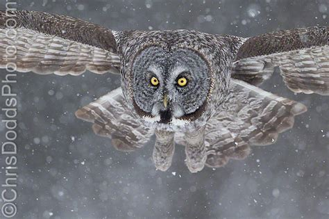 Canon Creative Park Snowy Owl - great grey owl cloudy bright exposure magic nature